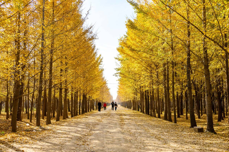 Golden Ginkgo Leaves In Beijing