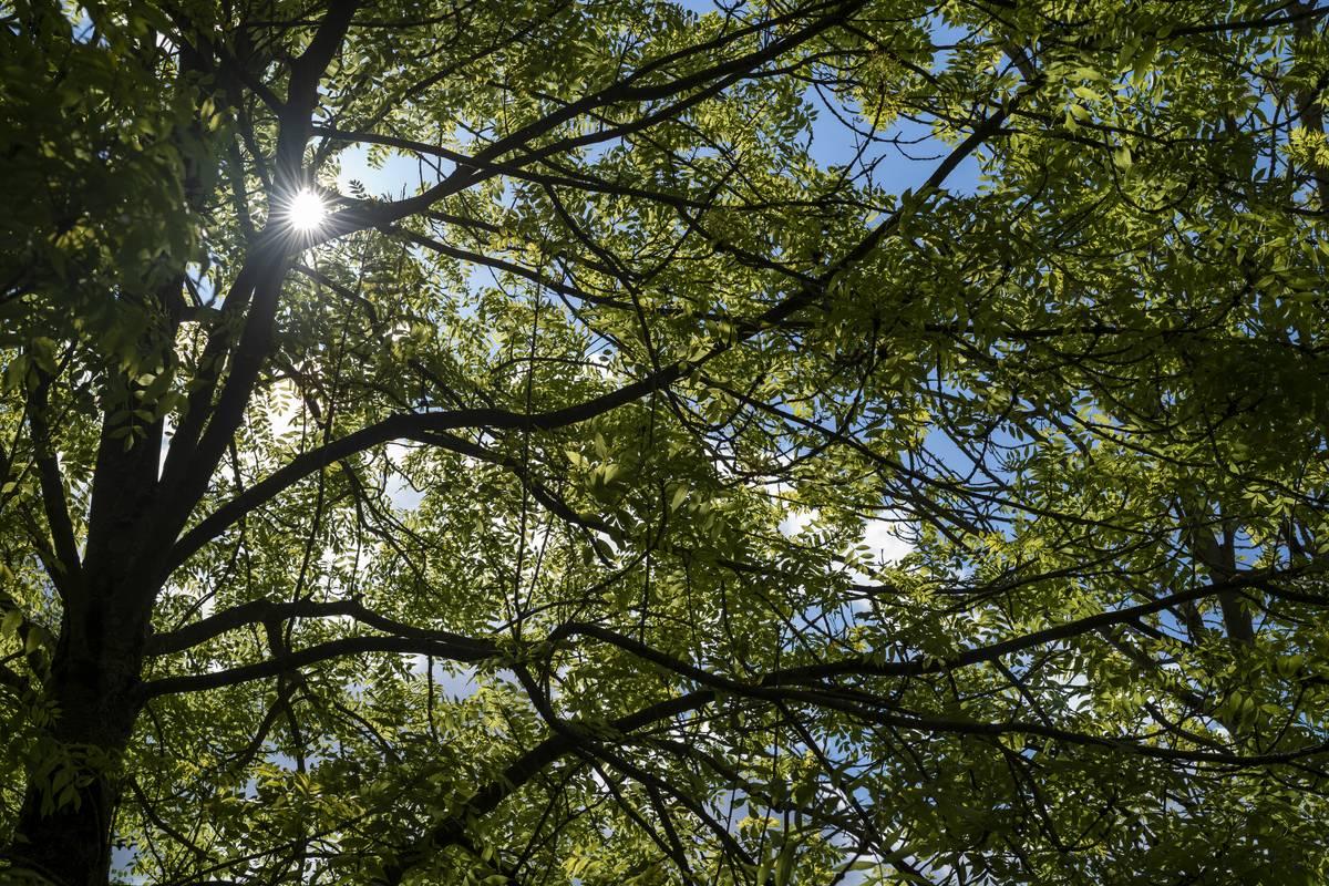 Sunlight Through An Ash Tree, UK