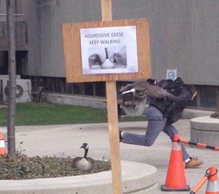 aggressive geese.jpg